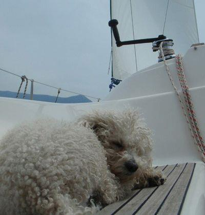 Sailing Greek islands - Greece charter sailing holidays - Animaux Bienvenus - Caniche sleaping on sailboat deck